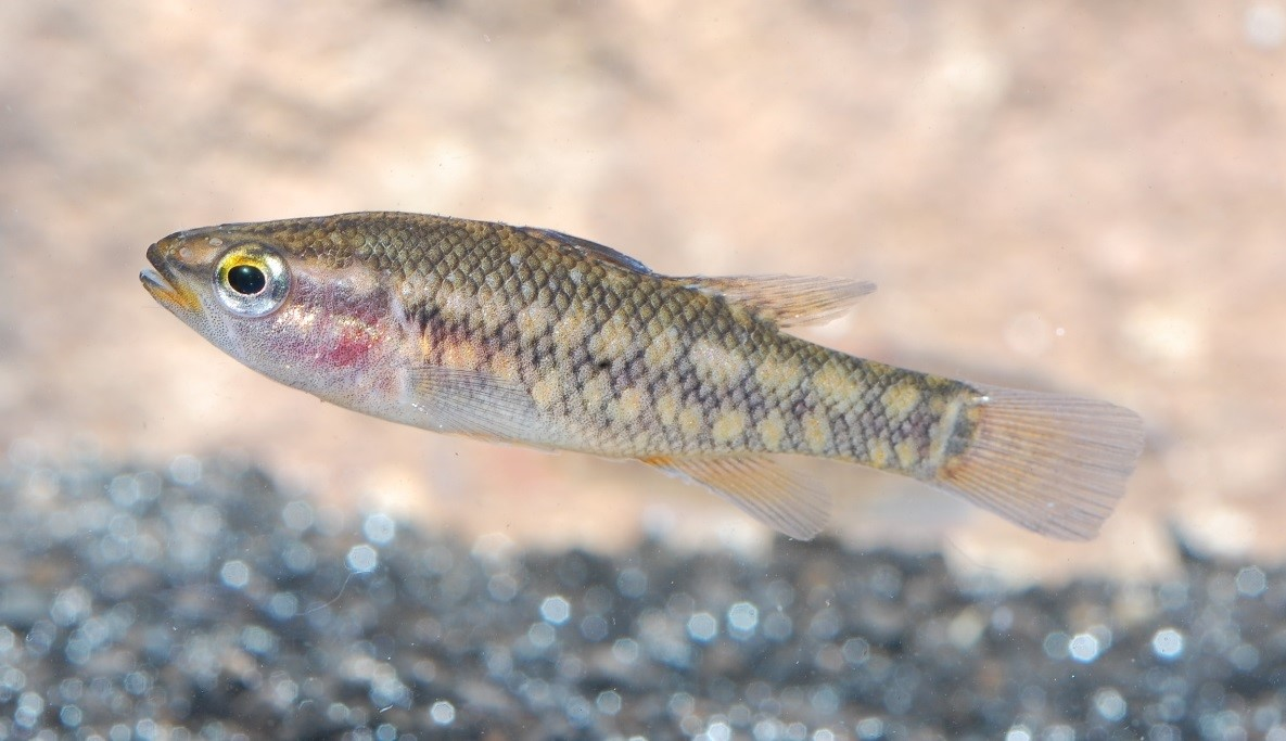 Freshwater fish in australia - The Balston S Pygmy Perch Is Currently Regarded As The Rarest Of All The Endemic Freshwater Fish