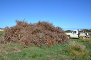 Removed Boxthorn ready for burning
