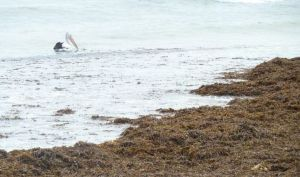 Pelican hunting fish attracted by wrack