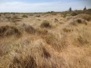 Pyp Grass smothering native flora in Cervantes before it was sprayed with herbicide