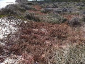 Native vegetation has a greater chance to revegetate after Pyp Grass is removed.