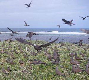 Brown Noddies on Lancelin Island (Photo N. Dunlop).