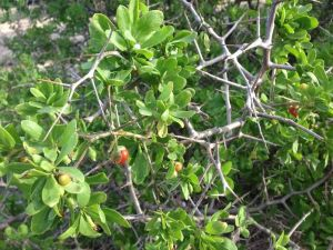 African Boxthorn showing spines and berries