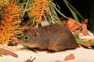 Parantechinus apicalis or dibbler is listed as Endangered.Picture: Perth Zoo